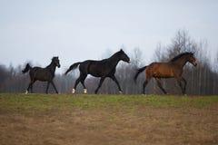 Três cavalos no prado Imagens de Stock Royalty Free