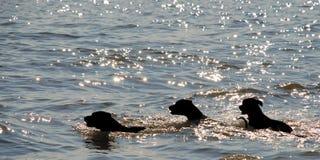 Três cães que nadam Fotos de Stock Royalty Free