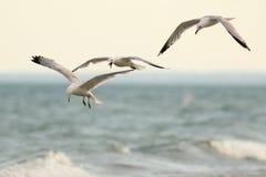 Três gaivota faturadas anel no vôo Fotos de Stock