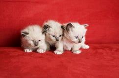 Três gatinhos pequenos Imagem de Stock Royalty Free