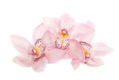 Três orquídeas rosados isoladas no fundo branco Fotografia de Stock