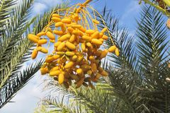 Trs ripening dates on the palm, Cyprus Royalty Free Stock Image
