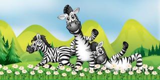 Três zebras no campo de flor Fotos de Stock