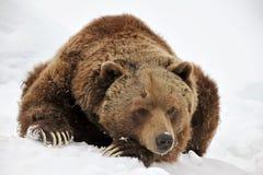tröttad björngrizzly Fotografering för Bildbyråer