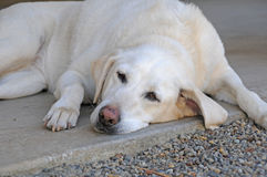 tröttad hund Arkivbild