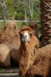 tröttad kamel Arkivfoto