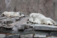 Truce. The wolf and the goat, sleeping side by side. Zoo. (compilation Stock Images