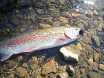 Trucha arco iris Alaska Foto de archivo libre de regalías