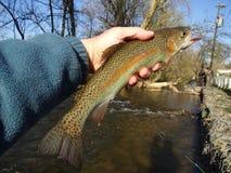 Trucha arco iris bonita del Beaver Creek Foto de archivo libre de regalías