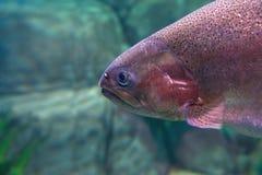 Trucha arco iris o trucha de color salmón (mykiss de Oncorhynchus) Fotos de archivo libres de regalías