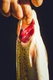 Trucha cogida fresca Fotos de archivo