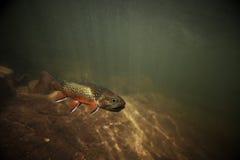 Trucha de arroyo salvaje subacuática Fotos de archivo