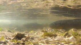 Trucha de Brown en freza almacen de metraje de vídeo