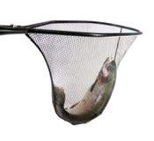 Trucha recién pescada en la red de aterrizaje imágenes de archivo libres de regalías