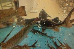 Trucha y nadada del sterlet en acuario fotografía de archivo libre de regalías