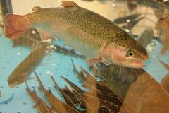 Trucha y nadada del sterlet en acuario foto de archivo