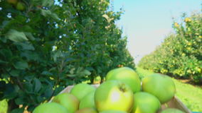 Truck with a box full of apples goes through the garden. Truck with a box full of apples goes through the apple garden stock footage