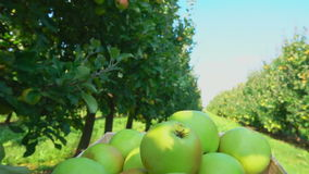 Truck with a box full of apples goes through the garden. Truck with a box full of green apples goes through the apple garden stock video