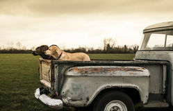 In the truck. Four lovely labradors in the ack of a vintage truck Stock Photos