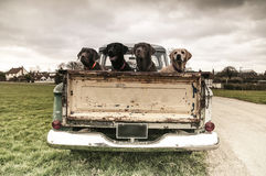 In the truck. Four lovely labradors in the bag of a vintage truck Royalty Free Stock Image