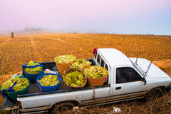 Truck lettuce   Royalty Free Stock Images