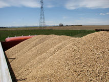 Truck Load of Grain. Top view of a truck load of grain ready for transport. Background consists of a pasture and then grain field, large round bales off to the Stock Photo