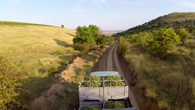 Truck loaded with freshly picked grapes. On a country road,aerial view stock footage