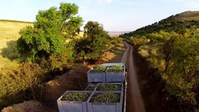 Truck loaded with freshly picked grapes. On a country road,aerial view stock video