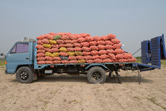 Truck in potato field is loaded with potatoes. Royalty Free Stock Image