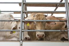 Truck Transport Beef Cattle Cow livestock stock photo