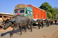 Truck and water buffalo Royalty Free Stock Photography