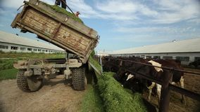 A truckload of alfalfa is coming along an open paddock. From a body of work poured alfalfa in a feeding trough for the cows, in the background the cows in the stock footage