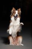 Truco feliz de las demostraciones del border collie del perro Fotos de archivo libres de regalías