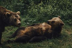 True Bear Love stock photography