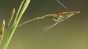 True bug at morning with water drops siting on grass. In wildlife stock footage