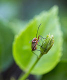 True bug on the plant Royalty Free Stock Image