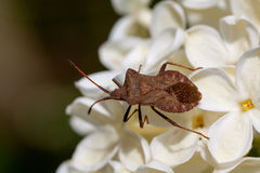 True bug on the white lilac Stock Photos