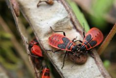 True Bugs In A Pod Royalty Free Stock Photos