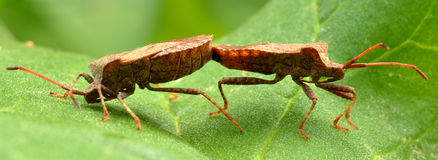 True bugs. Two True bugs in reproduction royalty free stock image