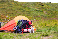 True camping friend. Dog Jack Russell terrier guarding tent and gear for a hike. Series of photos Royalty Free Stock Photos