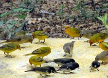 Sicalis flaveola  Canario da Terra. The true canary or canary of the earth is also known in Brazil as canary-da-horta, canary-da-telha, canary-do-campo, canary Stock Images