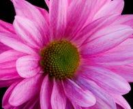 True Daisy. A true daisy in vibrant pink royalty free stock photo