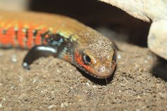 True fire skink Stock Photos