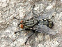 True fly. Sitting on pied stone royalty free stock photos