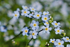 True Forget-Me-Not Stock Photos