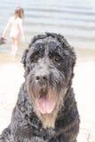A true friend. A large black dog breed giant Schnauzer Stock Photo
