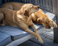 True friend. Two sleeping blonde labradors. Two sleeping blonde labradors outside on the terrace, close-up, horizontal Royalty Free Stock Photography