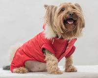 The true friend. Yorkshire terrier in clothes red Royalty Free Stock Photo