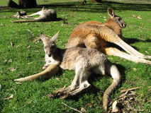 True friendship. Two kangaroos lying on the ground and relax together Royalty Free Stock Images