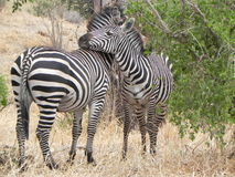 A TRUE FRIENDSHIP. Life in the wildlife world.The two zebra are very calm and at resting in opposite standing position as each one is keeping an eye around Royalty Free Stock Image